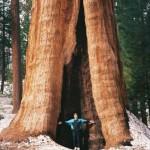 Walking among giants, Sequoia National Park